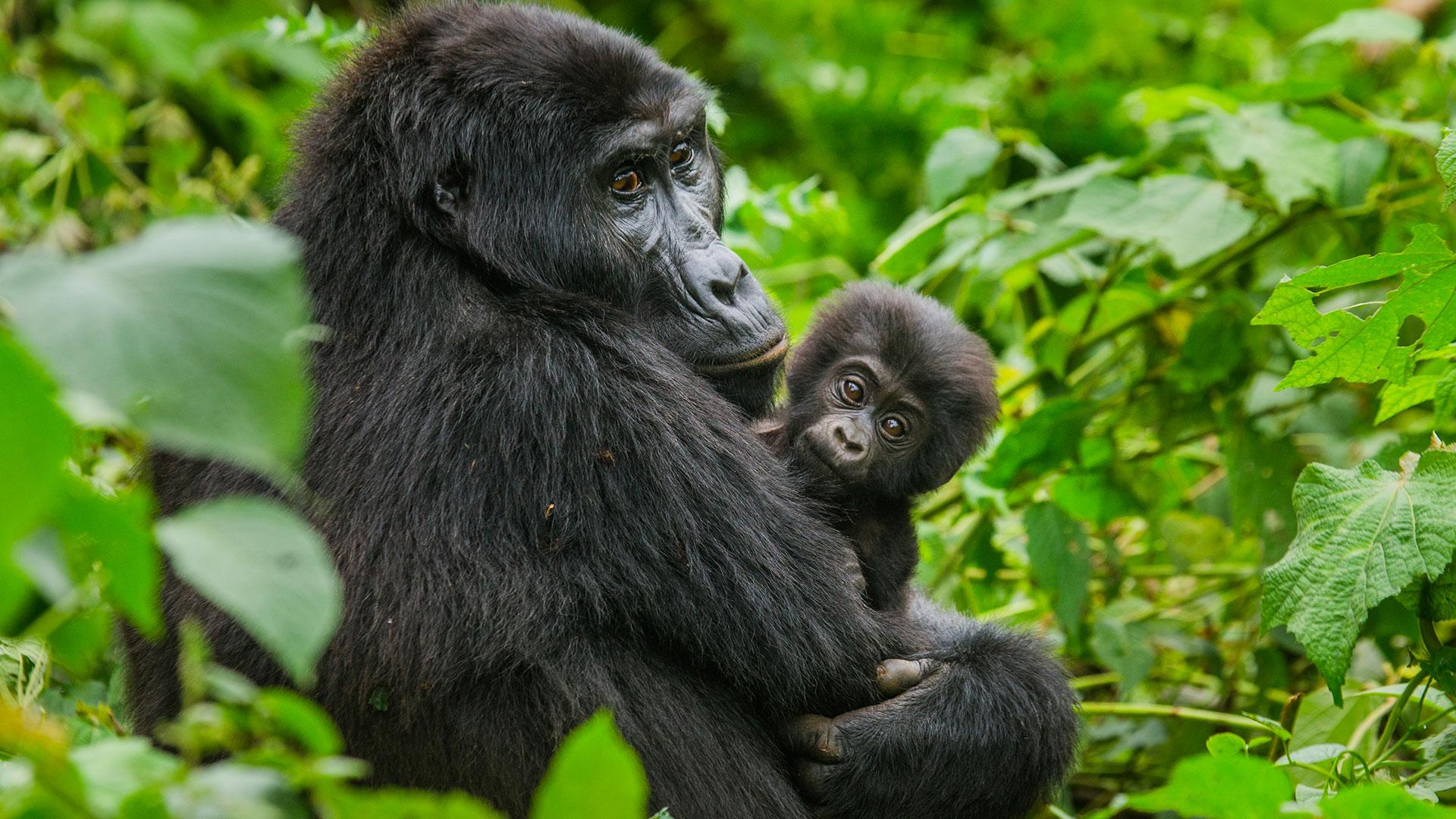 Il parco dei Virunga: la resistenza del gorilla di montagna alla follia umana